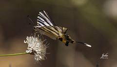 Podalirio  Iphiclides podalirius (Julio Millán) Tags: mariposa podalirio iphiclidespodalirius naturaleza airelibre insectos flores