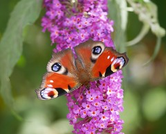 Peacock butterfly in EXPLORED  1 / 8 / 2019 (seenbynick) Tags: peacock butterfly insects wildlife nature outdoors buddleia summer sunshine macro ainsdale sandhills