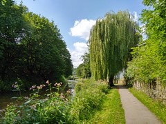 (Chris Hester) Tags: 313 brighouse canal path willow trees flowers