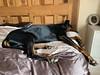 Snoozing - Doberman Pinscher Saxon (firehouse.ie) Tags: dog dogs doberman pinscher dobe dobermann dobermans dobes pinschers dobermanns chien perro hund dobie dobey dobies dobeys