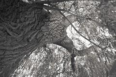 Cartographie (Atreides59) Tags: arbre tree nature holland hollande volendam paysbas black white bw blackandwhite noir blanc nb noiretblanc pentax k30 k 30 pentaxart atreides atreides59 cedriclafrance