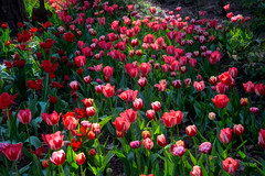 tulips for tiptoeing (Pejasar) Tags: tulips flowers blooms light garvanwoodlandgardens hotsprings arkansas