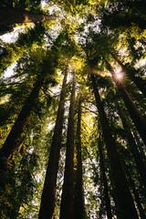 Redwoods (Graham Gibson) Tags: santa cruz a7rii sony fe vacation redwood steam trains narrow gauge mountains
