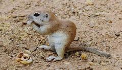 Round-tailed Ground Squirrel (Spermophilus tereticaudus); Oro Valley, AZ, [Lou Feltz] (deserttoad) Tags: nature rodent mammal squirrel groundsquirrel refuge park burrow arizona behavior
