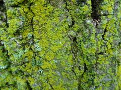 Cassius photographed the bark of a tree  - Explored! (Trinimusic2008 -blessings) Tags: grandson greenery bark nature throughtheeyesofachild toronto to ontario canada youngphotographers gratitude borrowedcamera cassius tree moss explored sooc sonydschx80