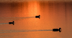 Ducks at sunset (Tim Melling) Tags: ducks mallards sunset south yorkshire reservoir timmelling