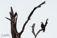 Bald Eagle looking over the lake (jonwhitaker74) Tags: