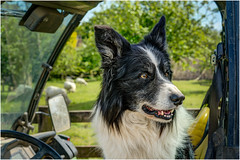 'Driver' - Border Collie Sheepdog. (john lunt) Tags: dog sheepdog bordercollie sheep animal pet working farm farming agriculture agricultural pedigree thoroughbred black white face fur coat big ears pricked up cute adorable loveable familydog alert alertness sitting waiting shepherd herding herd livestock obedient mansbestfriend rural countryside outdoor cornwall uk britain horizontal landscape isolated portrait colourful colorful utilityvehicle utv johnlunt sony alphaa7r2 zeiss55mmf18za hdr tonemapped anticipation expectation intelligent
