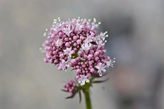 Wildflower (Stefano Rugolo) Tags: stefanorugolo pentax k5 pentaxk5 tamronspaf90mmf28dimacro11 macro wildflower flower summer pink pretty colorpalette
