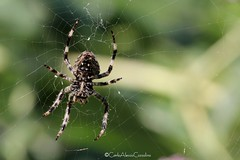 Spider (CarloAlessioCozzolino) Tags: cornatedadda portodadda ragno spider animale animal macro natura nature ragnatela spiderweb argiope aracnide