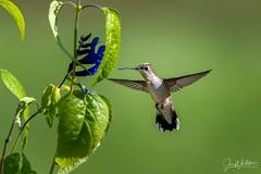 Looking for breakfast (jonwhitaker74) Tags: hummingbird bird wildlife