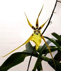 Brassidium Gilded Urchin 'Ontario' primary hybrid orchid 7-19 (nolehace) Tags: brassidium gilded urchin ontario primary hybrid orchid 719 cultivar fragrant summer nolehace sanfrancisco fz1000 plant flower bloom