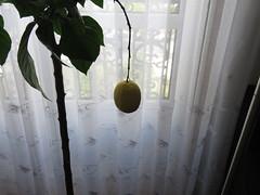 IMG_5650 (jesust793) Tags: limon lemon planta plant