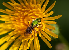 Green sweat bee (vaneramos) Tags: agapostemontexanus twinoaks yellow botanical floral greensweatbee insect macro smileonsaturday beeautiful
