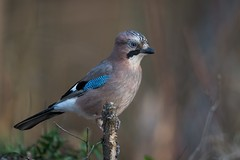 Eurasian jay (JS_71) Tags: nature wildlife nikon photography outdoor bird new see natur pose moment outside animal flickr colour poland sunshine beak feather nikkor d500 wildbirds planet global national wing eye watcher