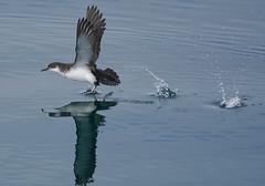 Scotland 2019   Manx Shearwater Take-off (dr brewbottle) Tags: bird shearwater manxshearwater takeoff sea water birdinflight