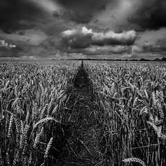Wheat field bw (paullangton) Tags: wheat field wheatfield landscape nature clouds crops countryside bw blackandwhite mono monochrome hertfordshire harvest canon 5dmk3