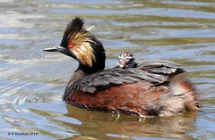 Eared Grebe (pamfromcalgary) Tags: bird southernalberta franklake pamhawkes earedgrebe