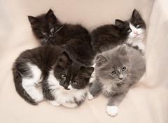 Sweetest SIblings 😍 (Ranveig Marie Photography) Tags: katt katter cat cats kittens kitten kattunger dnnj dyrebeskyttelsen adoptdontshop animals cute sweet beauties adorable egersund animalprotection adoptsontshop pets kjæledyr husdyr