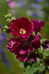 Hollyhock (pstenzel71) Tags: blumen natur pflanzen hollyhock stockrose alcearosea darktable flower bokeh