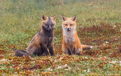 Fox Kit Siblings (Melissa M McCarthy) Tags: fox kit siblings red cross animal nature outdoor wildlife wild cute portrait posing sitting spring young babies avalonpeninsula newfoundland canada canon7dmarkii canon100400isii
