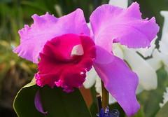 Orchid Beauty (npbiffar) Tags: garden outdoor plant orchid flower petals npbiffar fz200 lumix coth5
