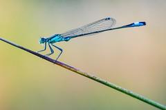 Dragonfly (agnieszka.a.morawska) Tags: insect nature makro macro helios44m helios ważka dragonfly
