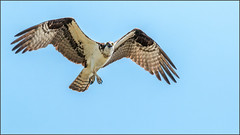 (c)WMH_2019_07_31 Osprey in Flight 1 (WesleyHowie) Tags: birds canada location novascotia osprey raptor rockylake wildlife