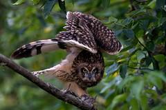 Asio flammeus (chavko) Tags: canon shorteared owl asio flammeus jozefchavko slovakia predators flickr myšiarka močiarna