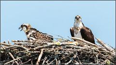 (c)WMH_2019_07_31 Osprey on Nest (WesleyHowie) Tags: birds canada location novascotia osprey raptor rockylake wildlife