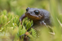 Bryophryne sp. (antonsrkn) Tags: bryophryne frog macro moss andes peru peruvian nature amphibian wildlife animal cusco