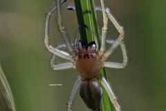 Cheiracanthium female field-stack (Phil Arachno) Tags: germany hessen mönchbruch spider spinne arachnida chelicerata heliconfocus fieldstack