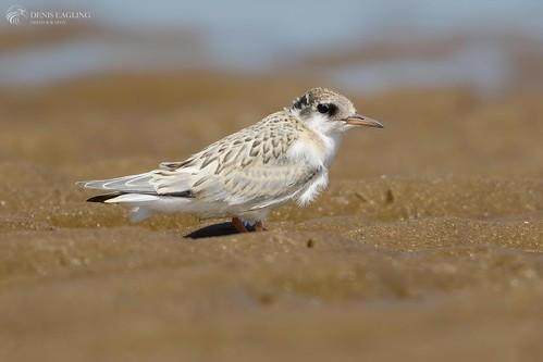 Little Tern - juv