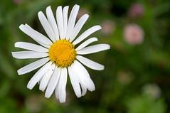 Flowers - Finland (Sami Niemeläinen (instagram: santtujns)) Tags: joensuu suomi finland kukka kukkia flowers kasvi fauna luonto nature lähikuva makro macro