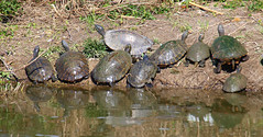 Ok Everyone, Out of the Water! (Kaptured by Kala) Tags: trachemysscriptaelegans redearedslider waterturtle turtle aquaticturtle whiterocklake dallastexas muddy mud sliders reptile pseudemysconcinna rivercooter cooter moss creekbetweenlowerspillwaystepsandlowerspillway algae chaos melanisticredearedslider reflection