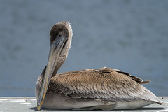 Brown Pelican (juvenile • Pacific) (Rodolfo Quinio) Tags: brownpelican brownpelicanjuvenile•pacific nikond800 nikonafs300mmf4d nikontc17eii pillarpointharbor halfmoonbayca sanmateocounty waterbird waterfowl nature wildlife 244