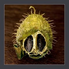 Stachelgurke (blasjaz) Tags: blasjaz botanik frucht samen beere pflanze pflanzen patternsinnature