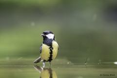 Great tit (Corine Bliek) Tags: nature vogel birding birds bird natuur wildlife birdwatching pájaros oiseaux aves zangvogels passeriformes passerine songbirds vogels parusmajor birdphotography naturephotography