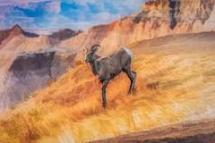 big horn in the sunset light (Pejasar) Tags: painterly digitalcreations art artistic sunset light badlandsnationalpa bighornsheep animal mammal grass