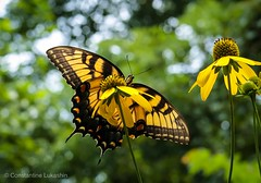 Huge Tiger Swallowtail Butterfly (Constantine L.) Tags: g7x canon nature flower insect butterfly swallowtail tiger yellow
