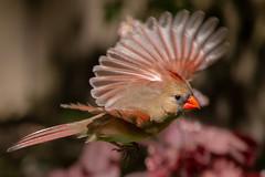 Northern Cardinal (Scriblerus) Tags: northerncardinal cardinal birdinflight cardinalinflight femalecardinal
