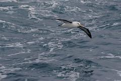 Black-browed Albatross (blachswan) Tags: portfairy portfairypelagic pelagicboattrip pelagics pelagic southernocean southernexplorer blackbrowedalbatross thalassarchemelanophris