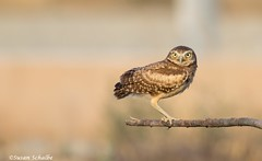 Out on a limb and doing fine (Photosuze) Tags: owls owlets burrowingowls birds avians nature wildlife aves cute