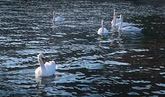 The swans on Lake Ohrid , Macedonia (singingdaisy) Tags: swans lake ohrid macedonia
