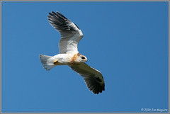 Wheeeeee! 6565 (maguire33@verizon.net) Tags: bif elanusleucurus pradoregionalpark whitetailedkite bird birdofprey juvenile kite raptor wildlife