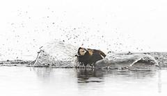 Long-tailed Duck (karenmelody) Tags: usa bird birds animal animals alaska duck unitedstatesofamerica ducks vertebrate vertebrates anatidae anseriformes longtailedduck clangulahyemalis nearbarrow utqiaġvik