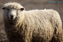 Wooly Bully...Revisited...New Pic 1 (Walt Snyder) Tags: canoneos5dmkiii canonef100400mmf4556l farm animals sheep ram wool portrait nose