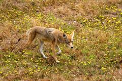 Coyote 150 (lennycarl08) Tags: coyote pointreyesnationalseashore animalplanet wildlife