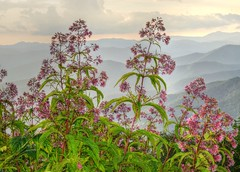 Joe Pye landscape (esywlkr) Tags: mountains clouds landscape wildflowers nc northcarolina nature