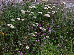 Daisies and friends !! (Lopamudra !) Tags: lopamudra lopamudrabarman lopa flora flower flowers kashmir kasmir himalaya himalayas highaltitude highland beauty beautiful daisy purple nature wilderness wild jk india